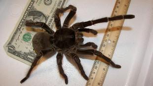 Theraphosa Blondi, самый большой паук, фото